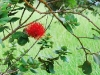 ohia lehua in the backyard