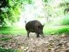our pig bische
