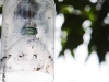 organic fruitfly traps