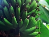 smallgreenbananas