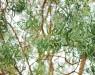 Koa foliage
