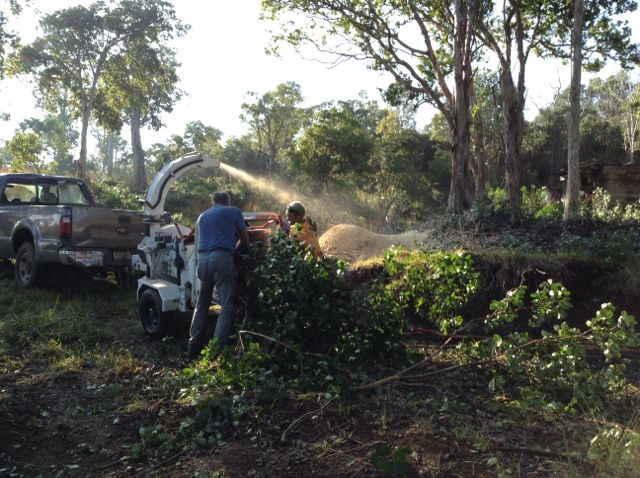 Chipping invasive strawberry guava.